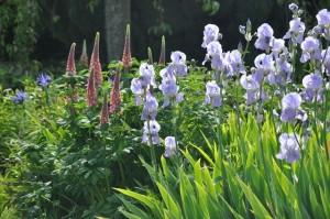 Iris et lupins